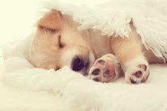 Sueños beige del perrito Imagen de archivo