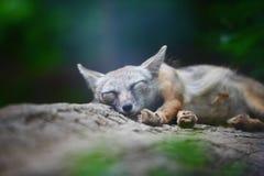 Sueños de Fox Fotografía de archivo