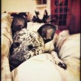Sueños del perrito Imagen de archivo