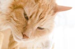 Sueños siberianos criados en línea pura del gato del varón adulto Fotos de archivo libres de regalías