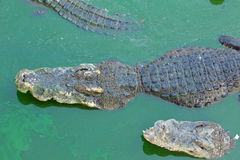 Sue?o m?ltiple del cocodrilo en agua Foto de archivo