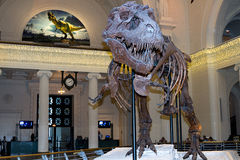 Sue the T-Rex  Stock Photography