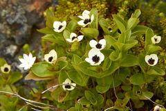 Suecica de floraison de cornus Photographie stock libre de droits