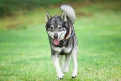 Sueco Elkhound Imagenes de archivo