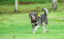 Sueco Elkhound Fotos de archivo