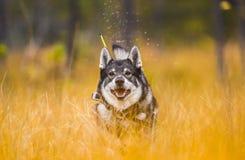 Sueco Moosehound na queda fotografia de stock