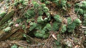 Suelo cubierto con el musgo, las ramas y las agujas en las montañas cárpatas en Ucrania almacen de metraje de vídeo