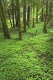 Suelo del noroeste pacífico del bosque Foto de archivo libre de regalías
