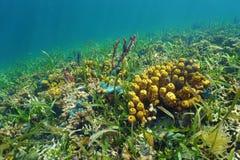 Suelo marino colorido con la esponja del mar en el arrecife de coral Imágenes de archivo libres de regalías