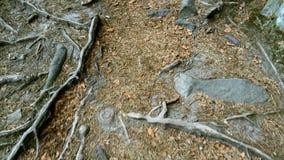 Suelo, raíces y piedras en las montañas cárpatas en Ucrania Sistema de la raíz extender hacia fuera en suelo de alrededor almacen de video