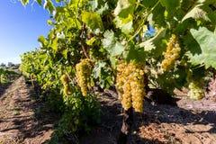 Suelo siciliano con las uvas para la cosecha de la uva Imagenes de archivo