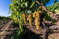 Suelo siciliano con las uvas para la cosecha de la uva Fotos de archivo libres de regalías