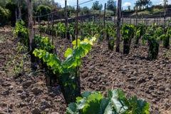 Suelo siciliano con las uvas para la cosecha de la uva Foto de archivo