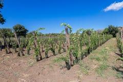 Suelo siciliano con las uvas para la cosecha de la uva Fotografía de archivo libre de regalías