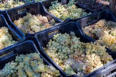 Suelo siciliano con las uvas para la cosecha de la uva Imagen de archivo libre de regalías