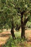 Suelo viejo del rojo del árbol Foto de archivo libre de regalías