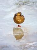 Sueño del pato Fotografía de archivo libre de regalías