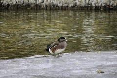Suerte del pato Foto de archivo