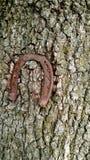 Suerte del roble del árbol de Horshoe Imagen de archivo libre de regalías
