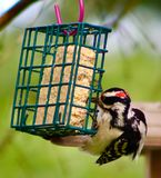 Harry woodpecker on the suet cage. Suet cage in the front garden Royalty Free Stock Photography