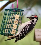 Harry woodpecker on the suet cage. Suet cage in the garden with a bird Stock Images