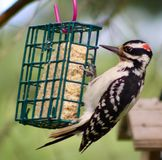 Harry woodpecker clinging to the suet cage. Suet cage visitors Royalty Free Stock Image