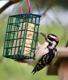 Harry woodpecker on the cage stock photo