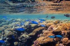 Suevica Caesio рыб Красного Моря более fusilier стоковые фотографии rf