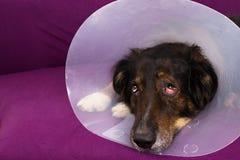 Suffering dog. Dog with eye injury looking sad Stock Photo