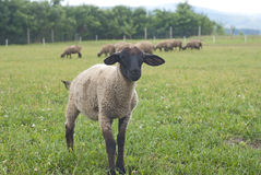 Suffolk baby sheep Royalty Free Stock Photography