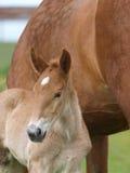 Suffolk Foal Head Shot Stock Photos