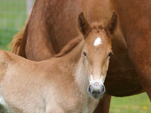Suffolk Foal Head Shot Royalty Free Stock Photography
