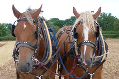 Suffolk Heavy Horses at a Country Show in England. Suffolk Horses at a Heavy Horse Working Day event in Somerset England Royalty Free Stock Photography