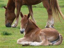 Suffolk Horse Foal Royalty Free Stock Photo