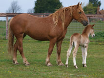 Suffolk Horse and Foal royalty free stock image