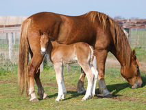 Suffolk Horse Mare and Foal Stock Photos