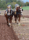 Suffolk Horses at a Ploughing Match in England Stock Image