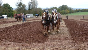 Suffolk Horses at a Ploughing Match in England Royalty Free Stock Photo