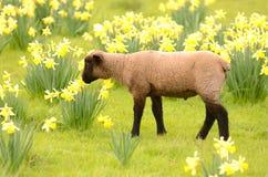 Suffolk Lamb Stock Photography