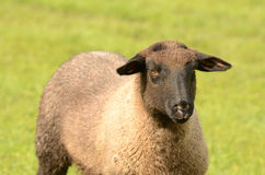 Suffolk Lamb Stock Photos