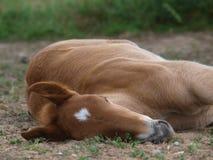 Suffolk-Locher-Fohlen schlafend Stockfotografie