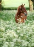 Suffolk-Locher-Pferd in der Sommer-Wiese Lizenzfreie Stockfotos