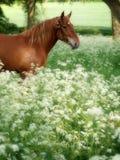 Suffolk-Locher-Pferd in der Sommer-Wiese Stockfoto