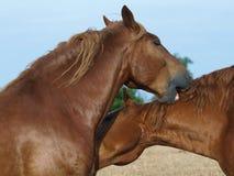 Suffolk-Locher-Pferden-Pflegen Stockfotos