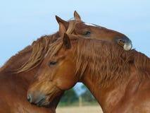 Suffolk-Locher-Pferden-Pflegen stockfoto