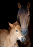 Suffolk Mare and Foal Royalty Free Stock Images