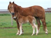 Suffolk-Pferd und Fohlen lizenzfreie stockbilder