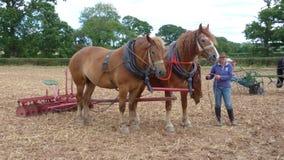 Suffolk-Pferde an einem Kaltblut-Land-Zeigung in en Lizenzfreie Stockfotografie