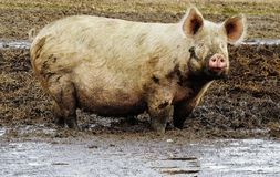 Suffolk pink pig in mud Stock Image