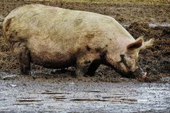 Suffolk pink pig in mud Royalty Free Stock Photo